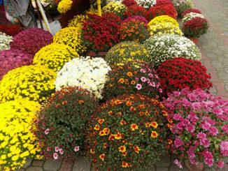 cvetna-pijaca