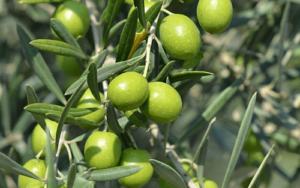 Plodovi-masline-siroka-slika